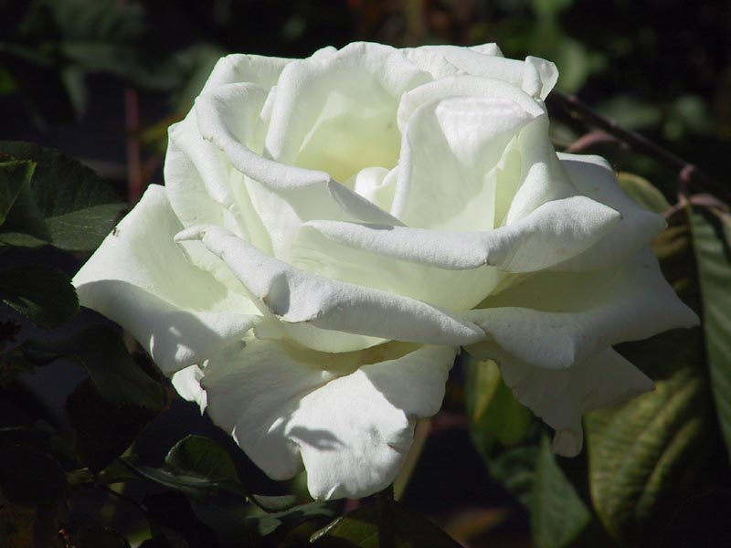 mawar putih bunga mawar warna putih melambangkan kesucian dan